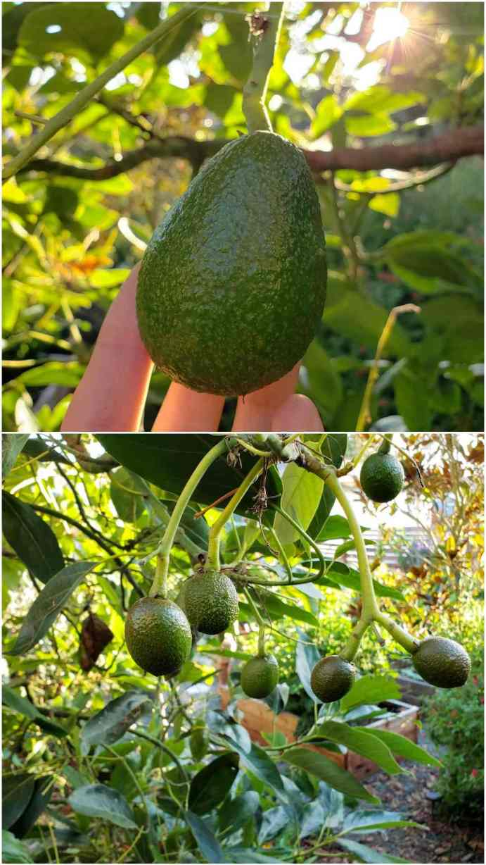 A two part image collage, the first image shows a close up of a hanging Hass avocado fruit. A hand is cradling it from the underneath to help illustrate its size. The second image shows the understory of a Hass avocado tree with many small fruit hanging from its branches. These fruit are probably only a couple months old and need much more time to mature.
