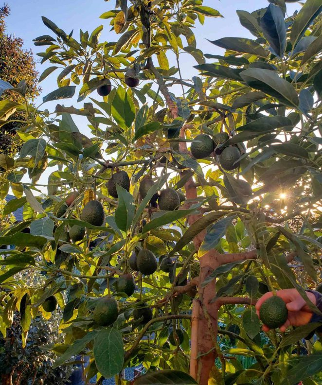 The understory of a Hass Avocado is shown. It is loaded with hanging fruit that are about the size of small. baseballs. A hand is reaching into the  canopy and is holding one of the hanging fruits.The evening sun is shining filtered light through the canopy.