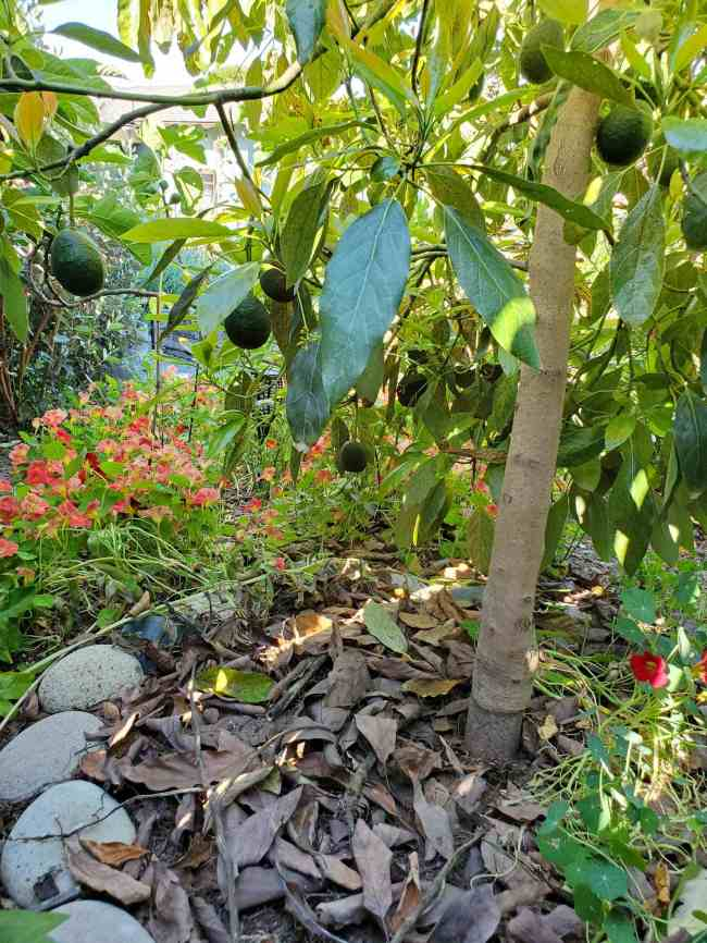 The understory of a large avocado tree is shown. There are avocados hanging from limbs and the tree mulches itself with the frequent dropping of leaves. There are nasturtiums growing around the perimeter of the tree.