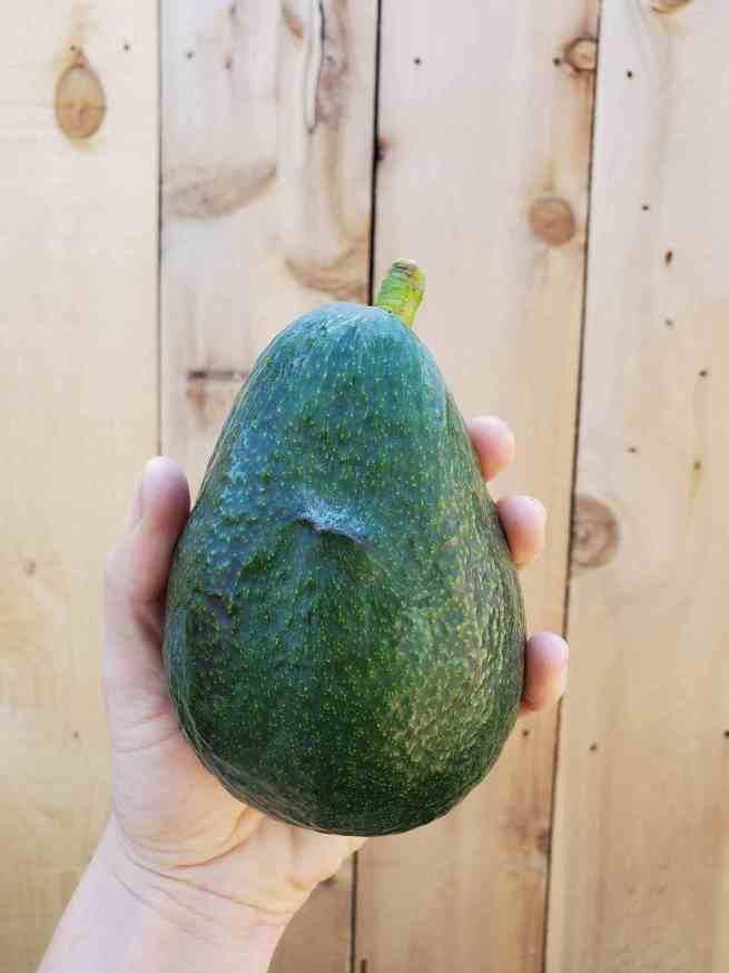 A hand is holding a large Sir Prize avocado against a fence line backdrop. The fruit is dark green and slightly pebbly.