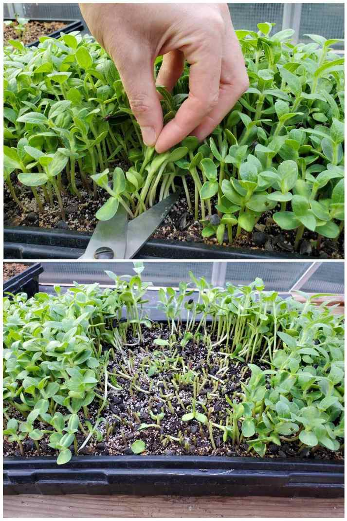 A two part image collage, the first image shows a hand pinching the tops of a handful of microgreens with a pair of scissors held to the base of the greens to harvest them as they are growing in a tray. The second image shows the tray after a section of microgreens has been harvested. There are still microgreens growing around the recently harvested section. Small portions of the microgreen stems are poking out of the surface of the soil as the rest of the green was harvested.