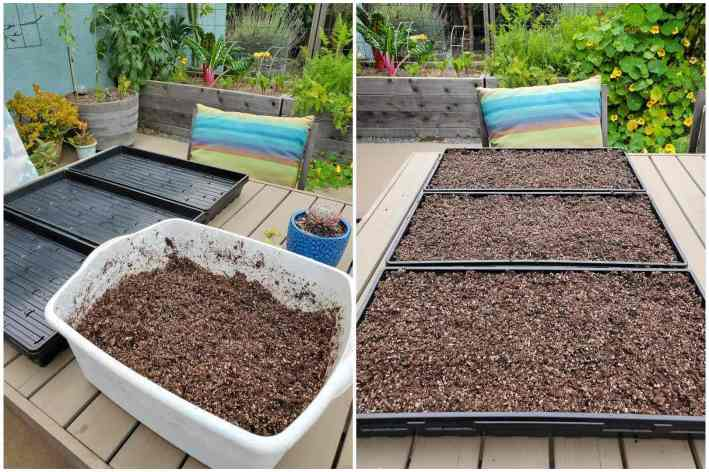 A two part image collage, the first image shows a white storage toge full of pre wetted seed starting soil mix. Three empty microgreen trays are sitting next to it. The second image shows the three microgreen trays after they have been filled with the damp soil sitting on a patio table.