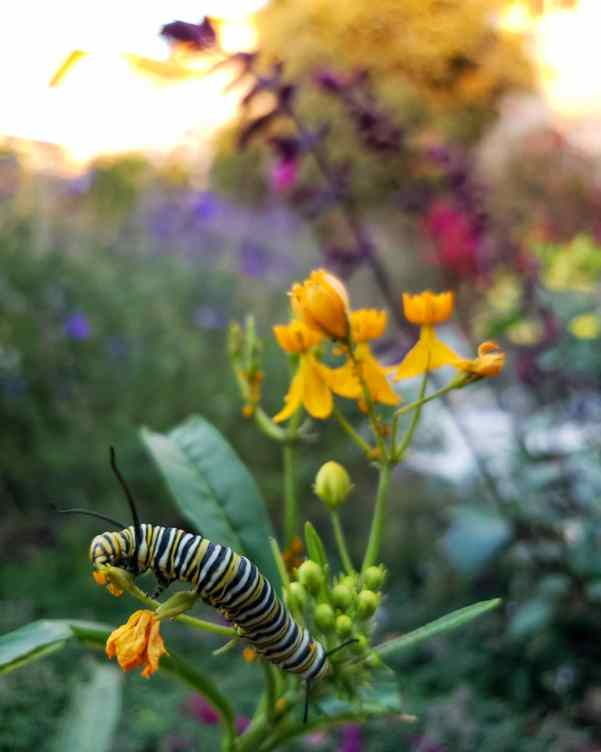 A close up image of the top of a flowering tropical milkweed plant that has yellow flowers. There is a huge Monarch Caterpillar that is feeding on a portion of the plant, the Caterpillar is striking in color with black, white, and yellow stripes.