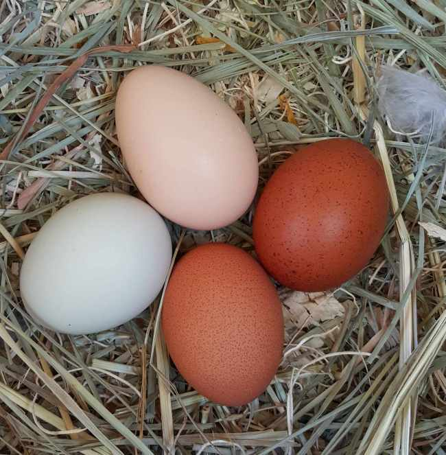 Four eggs sit in a chickens nest box. They are on top of a bed of hay and straw, on egg is blue, one is light brown, and two are dark brown with dark speckles. There is a fluffy chicken feather barley entering the image from the right most edge.
