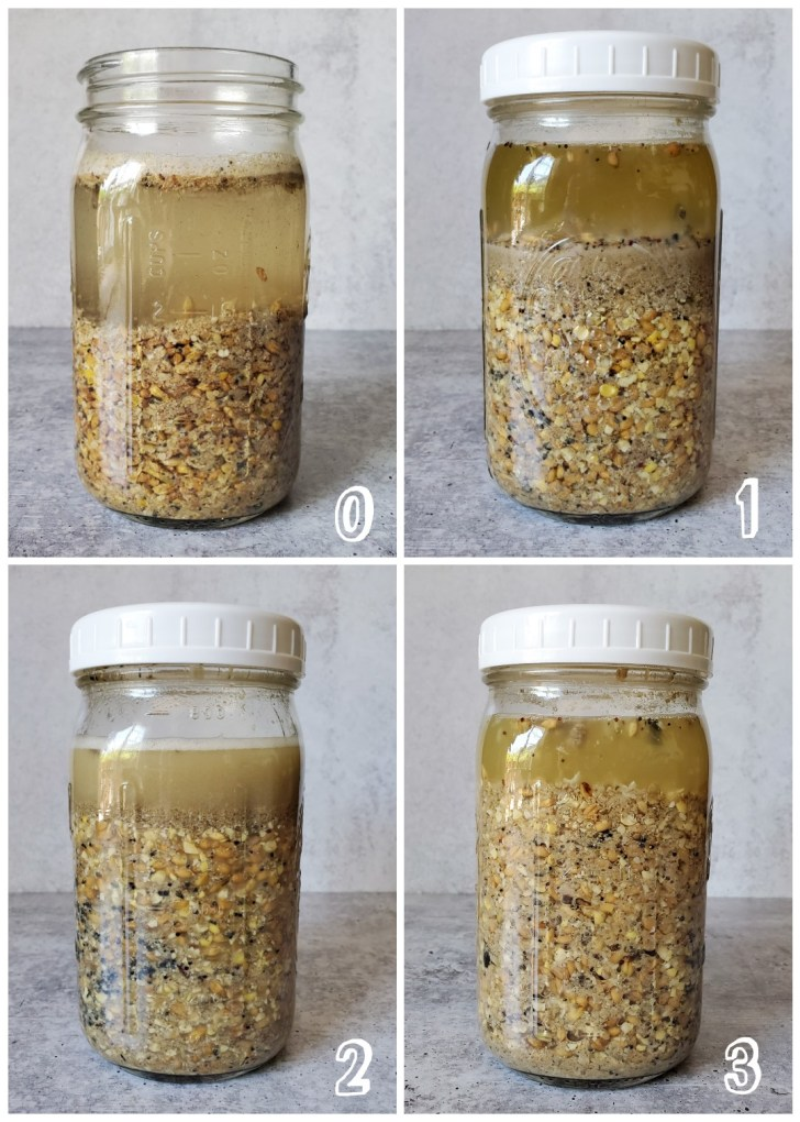 """A four way image collage of the process of fermented chicken feed, the first image is watermarked with a """"0"""" in the lower right corner indicating that it's the initial start of the process. There is a quart mason jar halfway full of whole grain chicken feed. The remainder of the jar is full of water, leaving the feed submerged. The second image is watermarked with a """"1"""" in the lower right corner. The feed has expanded some, the remaining water is slightly darker in color and there is about two inches of water above the feed. The third image is marked with a """"2"""" in the lower right corner indicating that it is the 2nd day of fermentation. The feed has expanded even more and the water is slightly more cloudy. There is about an inch of water covering the feed. The fourth image is watermarked with a """"3"""" showing that it's the third day of fermentation. The feed has expanded even more, leaving only about a half an inch of water covering the feed. The feed looks to be more melded together compared to the previous images."""