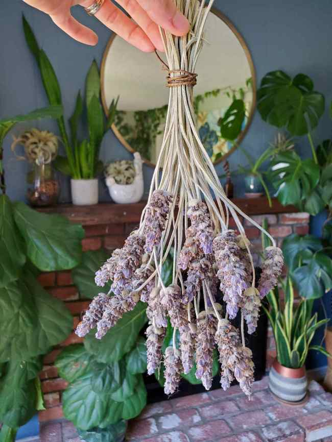 A bouquet of dry lavender is shown, a hand is holding the bouquet upside down, the stems tied together with brown twine. Even when dry, the flowers are still varying degrees of purple. Beyond the bouquet is a brick fireplace with various houseplants of differing sizes placed on and around it.