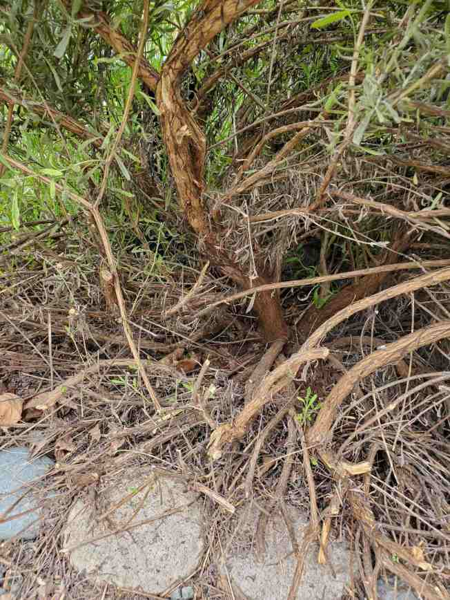 The woody undergrowth of a plant is shown. The main trunk or stalk is much thicker than the surrounding woody branches. Even after a heavy prune, there is new green growth emerging from woody portion of plant.