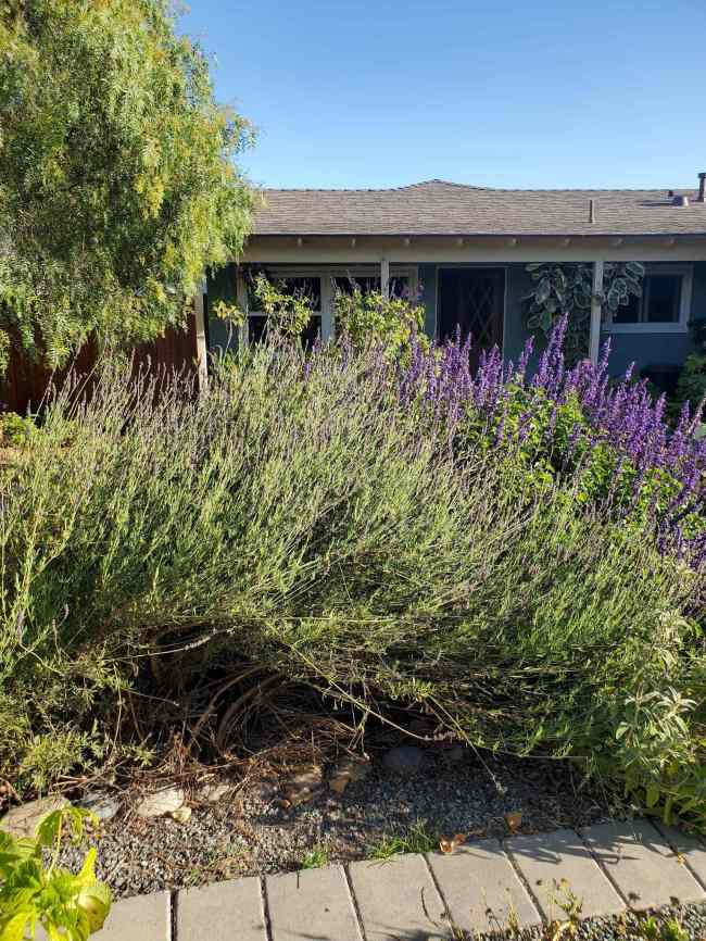 The north side of a lavender plant is shown, the blooms are clearly visible along the topside of the plant. The underside and edge of the plant has been recently pruned as it was blocking the paver boundary and walkway. The more woody undergrowth is visible below the lush green foliage. Use pruned flowers to dry lavender, preserving the flowers for future use.