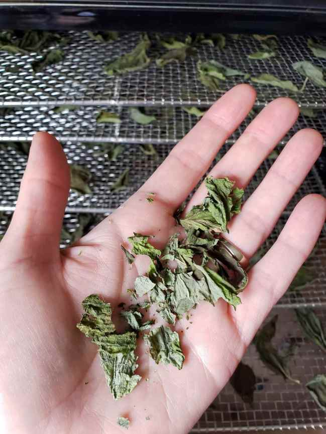 DeannaCat is holding a small handful of dry basil after it has been dried in a food dehydrator which is pictured in the background. It drying trays still full of dried leaves that need to be processed for immediate use or storage.