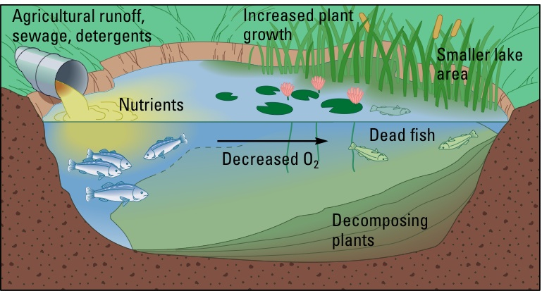 A diagram showing agricultural runoff, sewage, and detergents being dumped into a lake which in turn decreases oxygen in the water which kills fish, and increased plant growth which makes the lake smaller, in turn creating a loss of wildlife.