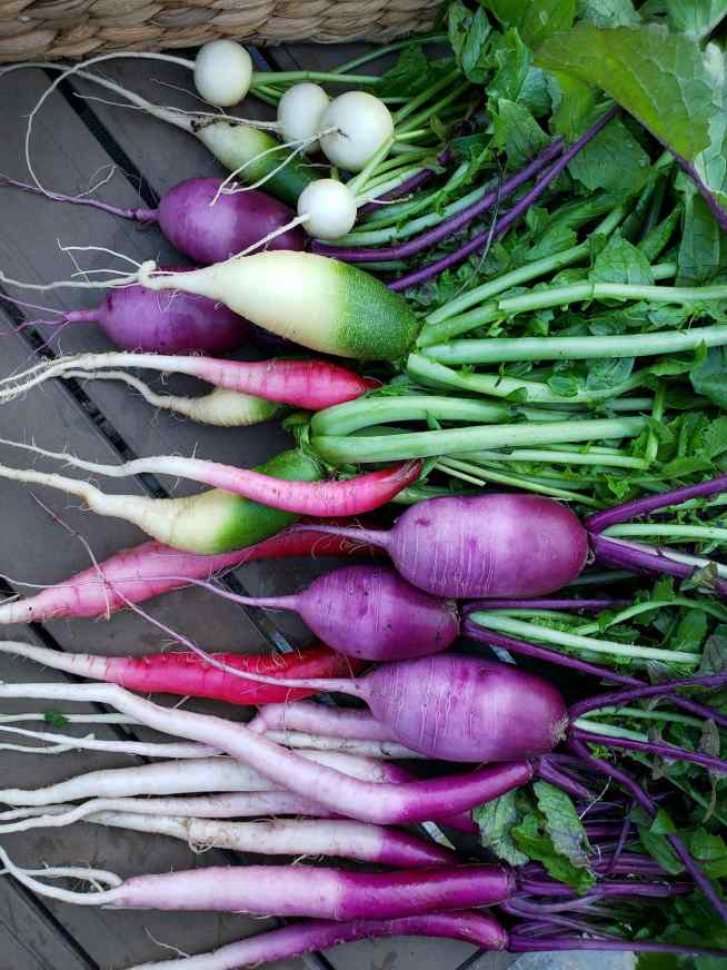 An arrangement of various freshly harvest radishes are shown sprawled across a patio table. They range in color and shape from green, white, purple, and red, most of them containing some variation of multiple colors. The radishes also range in shape from long and skinny to short and round to long and bulbous. The greens are still attached to the radishes.