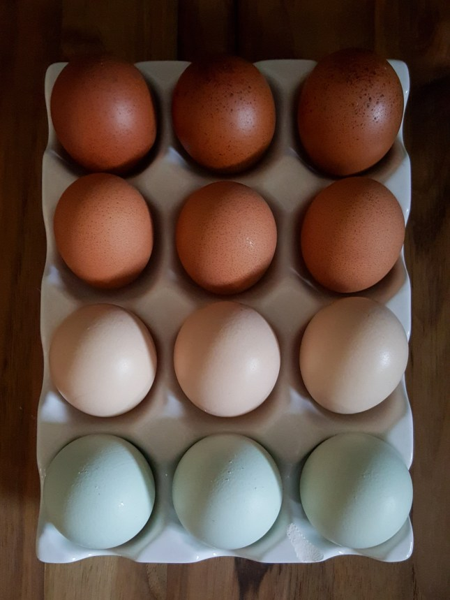 A dozen chicken eggs are being stored  in an egg storage container. It is white ceramic and open to the air, the edges are slightly wavy. There are four rows of eggs, each row contains three eggs each row from a different bird. The lower row has light blue eggs, the next row contains eggs that are light brown to pink, the third row up are medium brown with dark speckles, and the top row has very dark brown eggs with darker speckles.