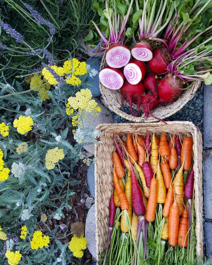 Two wicker baskets set along a gravel walkway, one is rectangular in shape and full of freshly harvest carrots of varying color. There are yellow, orange, and purple carrots with their green still attached. The other wicker basket is round and is full of freshly harvested chioggia beets. Two of which are cut in half along their equator, revealing the candy cane red striping set against white flesh within. There is yellow yarrow and lavender growing next to the pathway.