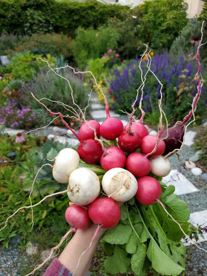 A large handful of harvested radishes and Japanese salad turnips with the garden in the background. The radishes are all smaller round types, a mix of red, pink, and purple along with the white salad turnips.