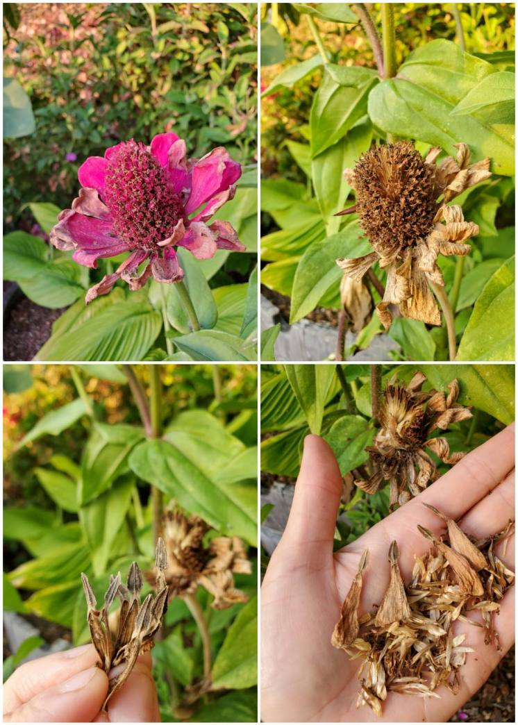 A four part image collage, the first image shows a zinnia flower that is still blooming and colorful though it is starting to slightly wither and dry. The second image shows the same flower once it has turned brown and dry. The peals are withered and the center of the flower is brown as well. The third image shows DeannaCat holding a small pinch of seeds that were harvested from the drying flower. The fourth image shows DeannaCat holding a handful of zinnia seeds harvested form a fluffier flower head, it contains at least three or four times the amount of seeds as the flower shown in the previous three images of the collage. If one choose to save flower seeds, using these images as a visual guide will be useful.