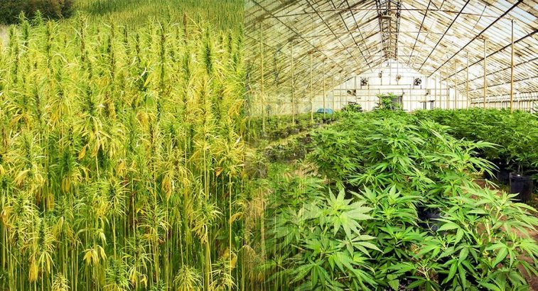 A two way image collage of two different hemp farms. The first image shows a field of industrial or traditional hemp, the plants are tall and skinny with more stem material than flowers or leaves. These are used for textiles. The second image shows a large greenhouse with rows of modern hemp that is rich in CBD for human consumption. The plants aren't flowering at the moment but they have large leaves that are very similar to modern cannabis plants.