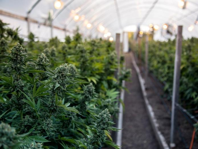 An image from the inside of a greenhouse that is growing cannabis. Lights and fans are visible towards the top of the house while many plants in full flower mode are growing, their green flowers accented by white and brown pistils. Choose CBD oil from organically grown hemp.