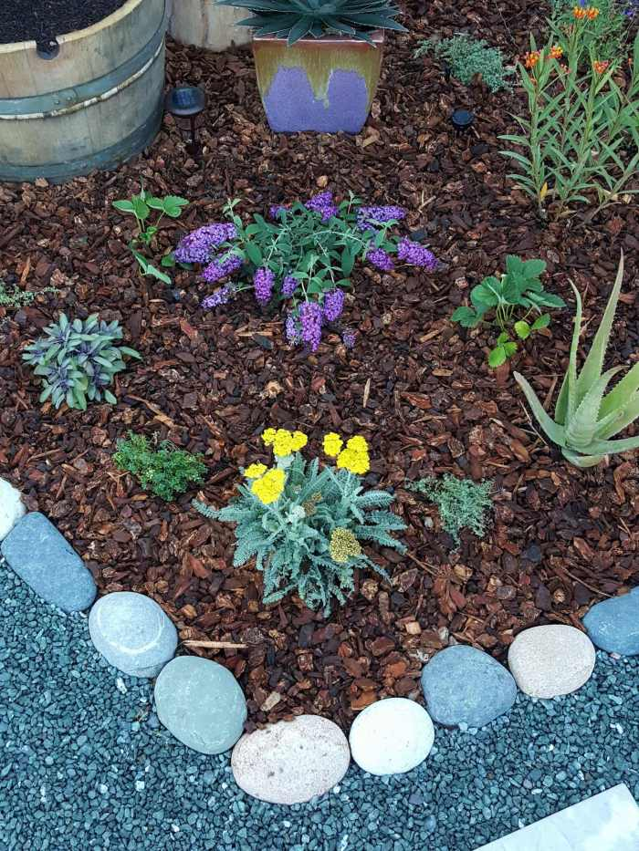 The corner of a pollinator island section of the front yard garden. The edges are lined with cobblestone with gravel pathways on the outside. Inside the islands there are various perennial plants consisting of yarrow, agave, aloe, edible sage, strawberries, milkweed and various other herbs. It is mulched with small redwood bark mulch.