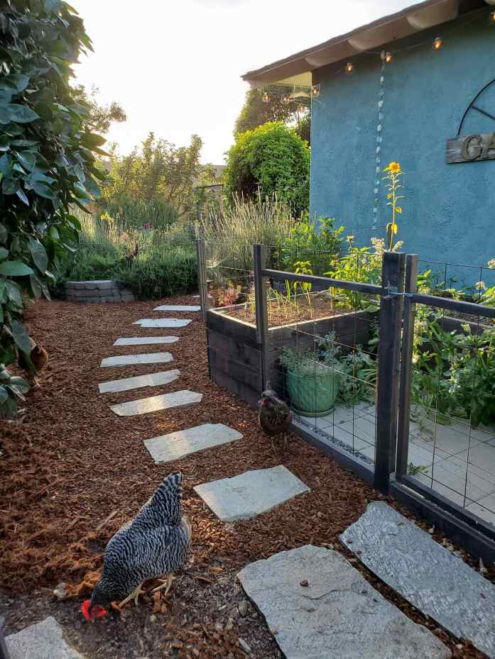 A backyard image showing a pathway weaving towards the coop garden, there are two chickens standing in the near foreground. The yard has been mulched with fresh redwood bark and shredded redwood mulch up until the very bottom of the image which still shows some older garden mulch that is darker brown after losing its reddish brown color with time.