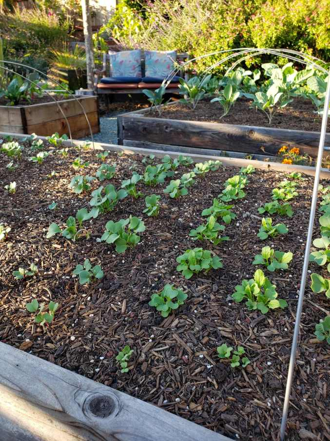 A close up image of a raised garden bed in the foreground and two raised beds in the background. Tender seedlings are growing in all of the beds with radish seedlings being the smallest in the foreground. The beds are mulched with woody compost as garden mulch to keep the soil moist and biologically active below.