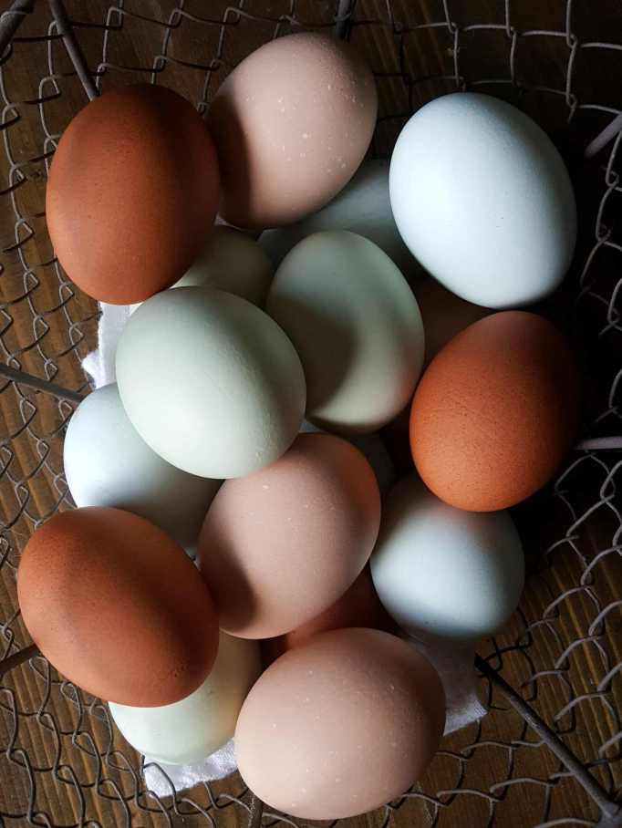A wire basket is full of fresh chicken eggs, they range in color from light blue/green, light blue, dark brown with mottled darker brown spots, and light brown.