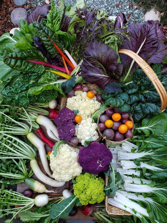 A birds eye view of a fall harvest of green, white, and purple cauliflower, bok choy, daikon radish, mustard greens, chard, passion fruit, and tangerines arranged in an artistic manner.