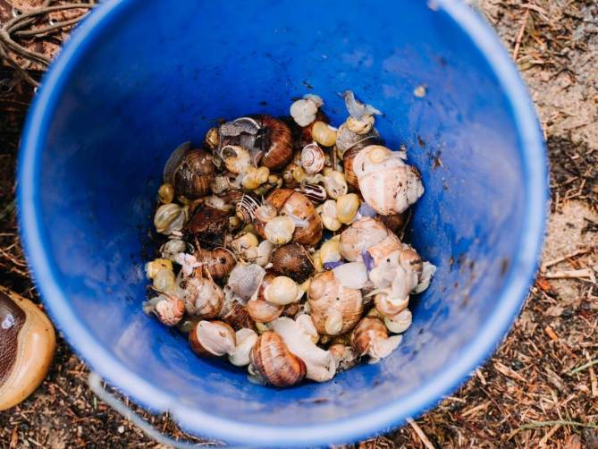A plastic blue bucket is shown filled about one quarter full of snails of various sizes, some are crawling up the side of the bucket. Manual removal is one form of snail control.