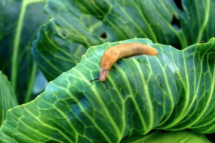 A slug is shown of the edge of a cabbage leaf, its brown body standing out in stark contrast to the bright green foliage.