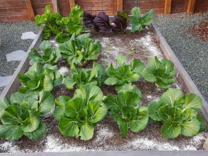 A raised garden bed is shown with rows of bok choy and mustard greens. In and around the rows there is diatomaceous earth sprinkled about which is a white powdery substance.