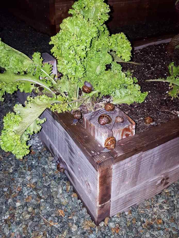 A raised garden bed with a large mustard green plant that is surrounded by snails, one of them is on the plant itself feasting away. The image was taken at night and snails were something we battled with here until we removed some excess green scape where they would harbor overnight as well as switching to all drip irrigation.