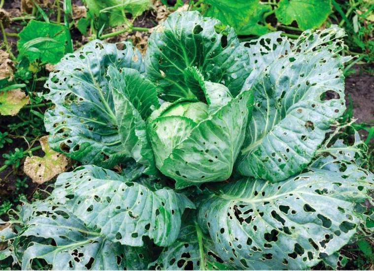 A large head of cabbage is shown that is littered with holes bit into all of the outer leaves and some of the inner leaves on the head of the cabbage. An arm of snails can really cause a lot of damage to plants. Snail control is a must in moist environments with plenty of places for them to hide out during the day.