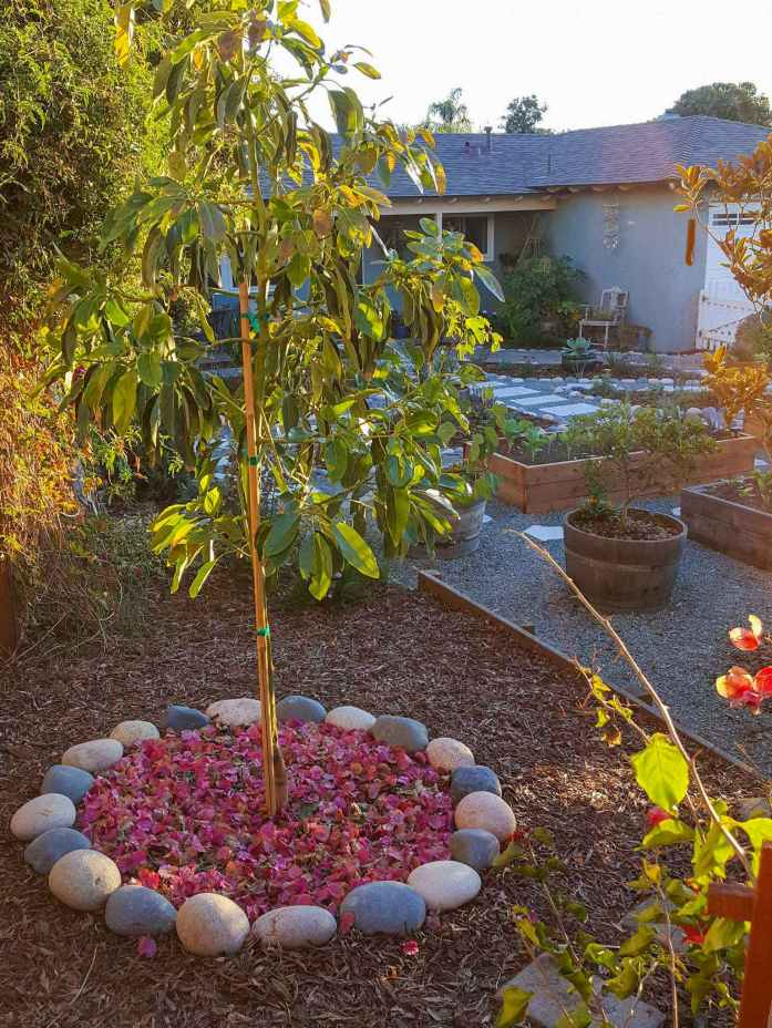 An avocado tree is shown that has been mulched with a fresh layer of dry pink bougainvillea leaves inside of a cobblestone ring. Outside of the ring there is small bark mulch, with raised garden beds amongst gravel and pollinator plants surrounded with bark mulch.