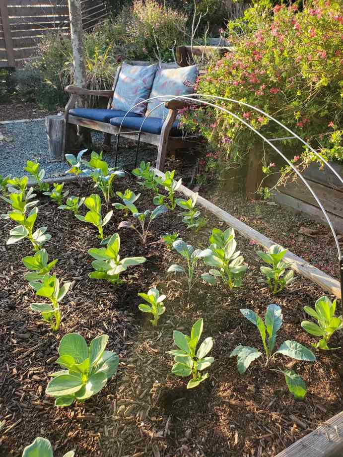 A raised garden bed is shown with newly planted seedlings. A row of tender kale seedlings is growing amongst rows of fava bean plants that are about the same height. The type of mulch used for the garden bed is a woody compost.