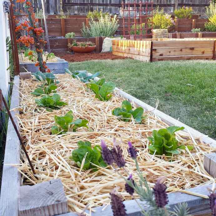 A close up image of a raised garden bed mulched with straw, young lettuce and bok choy seedlings are sprouting up amongst the mulch. The background contains other raised garden beds, perennial plants in a terrace, and trellises.