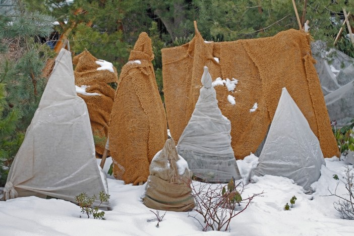 Plants or shrubs are hidden within thick burlap cloth and horticultural fleece, most are in the shape of a triangle or teepee. Snow is on the ground surrounding the plants with pine type trees in the background. Protect plants from frost to be able to grow well into the winter.