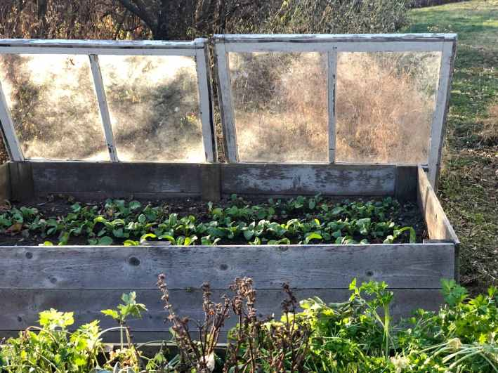 A raised garden bed with small seedlings growing with is shown. Glass windows framed in wood are leaning against the backside of the bed. The windows will be laid over the top of the bed to protect plants from frost.