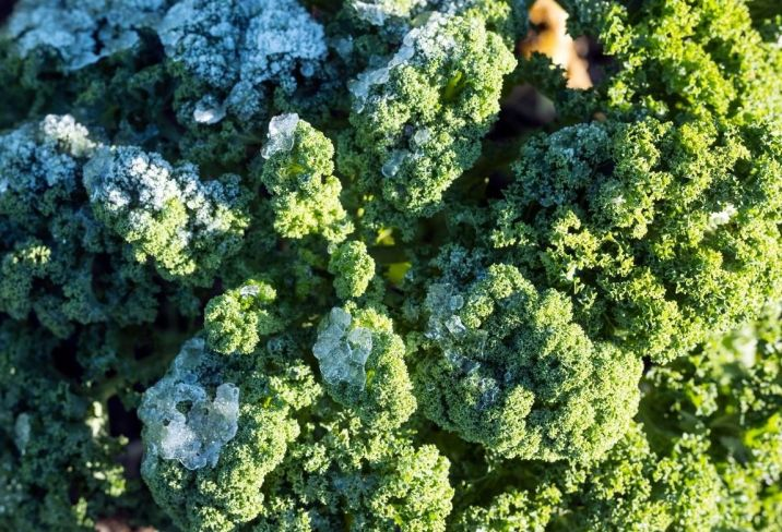 Frost tolerant green curly kale with frost and ice covering the tips of its leaves.