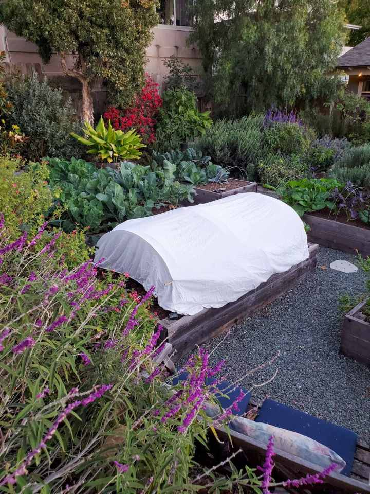 A raised garden bed is shown covered with a sheet supported by hoops. Some areas that don't receive too cold of weather may be able to protect plants from frost with lighter coverings or protection means.