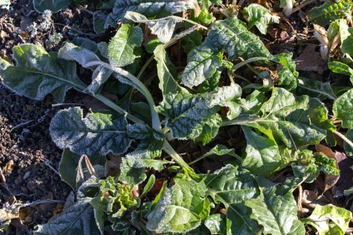 Green swiss chard with frost covered leaves being warmed by the suns rays.