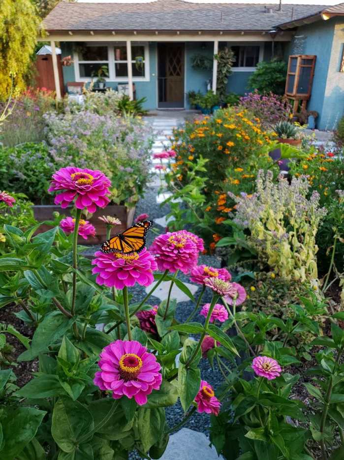 The front yard garden is shown with a large pink zinnia as the focus with a monarch butterfly resting on one of the flowers. Beyond is an explosion of colors from the various plants from orange marigolds, borage, zinnia, and verbena to only name a few. A gravel and paver lined pathway leads to the house beyond.