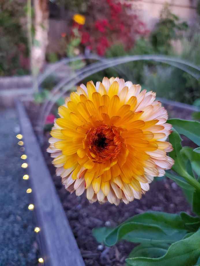 A close up of a calendula flower, the variety is apricot twist and the bloom is orange in the middle with lighter orange cream colors towards the outer petals.