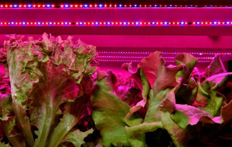 Lettuce plants are growing underneath pink and blue LED lights.