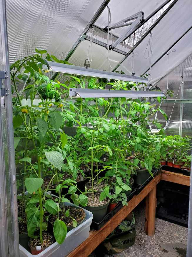 Tall vegetable seedlings inside of a greenhouse are shown with T5 grow lights that can be adjusted for height with rope hanging amongst the top of the canopy. The vegetable seedlings will be transplanted outdoors soon but using grow lights helps grow healthy seedlings.