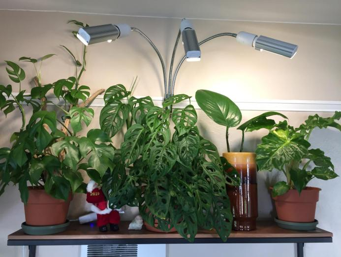 Houseplants sitting on a shelf with a clip on light that contains three bulbs that are arranged to provide light equally throughout the plant canopy.