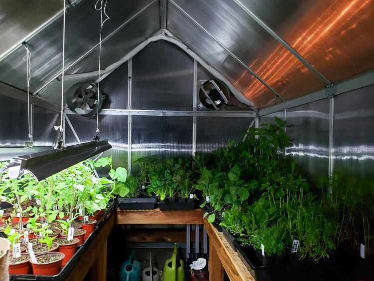 Tables inside of a greenhouse that are arranged in a U shape along the three sides of the greenhouse have trays of vegetable seedlings growing atop them. The tomatoes and pepper and other light loving plants along one side have grow lights hanging above them to provide additional supplemental light while the plants that can get by with less light such as greens and flowers aren't being provided with additional artificial lighting.