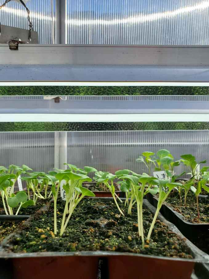 A close up image of many 6 cell pack seedling trays with tender seedlings sprouting upwards. T5 fluorescent lights are hung just inches above the top of the seedlings.