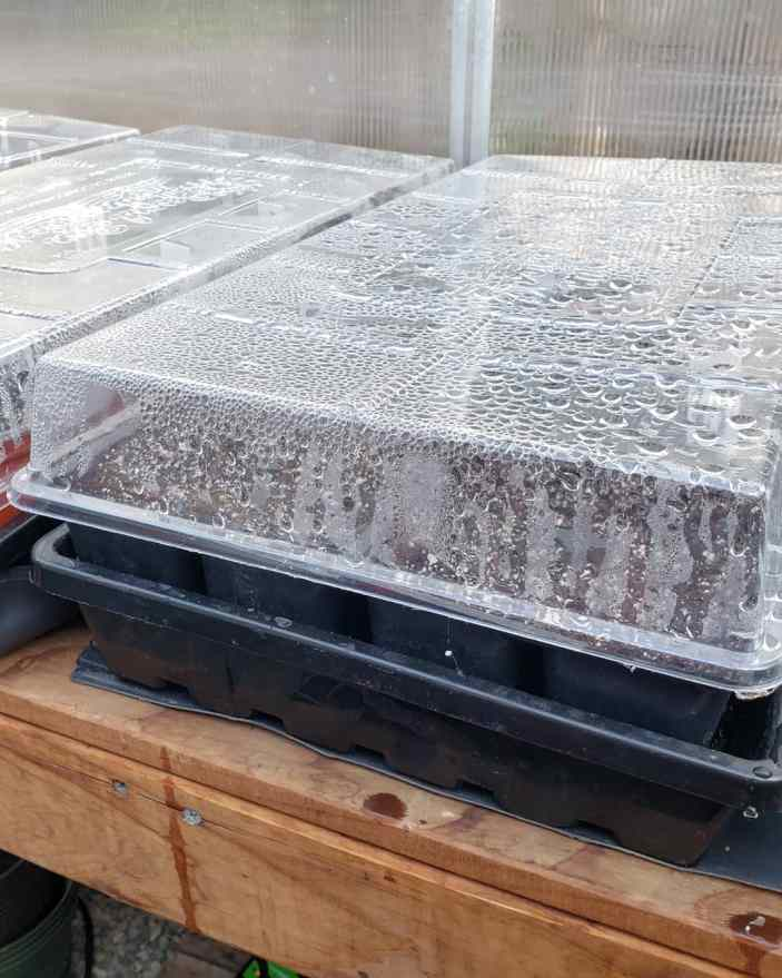 Seedling trays covered with lids that act as humidity domes to aide in successful germination. The insides of the lids are wet with condensation.