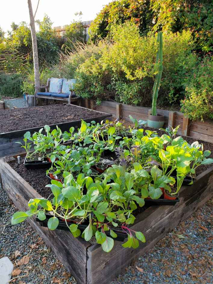 Trays of kale, chard, bok choy mustard green, caggabe, cauliflower seedlings sit atop a raised garden bed. The bed is full of soil and just needs the seedlings to be transplanted or direct sow seeds if planting any root vegetables.