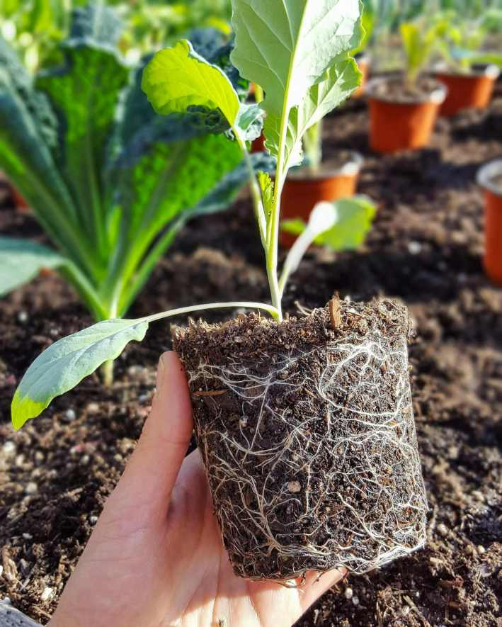 DeannaCat is holding a cauliflower seedling that has been taken out of its 4 inch pot to be transplanted into a raised bed. The roots are surrounding the soil and are a vibrant white color. Many cauliflower seedlings in 4 inch pots are in the background, arranged in rows in the raised bed to be transplanted.