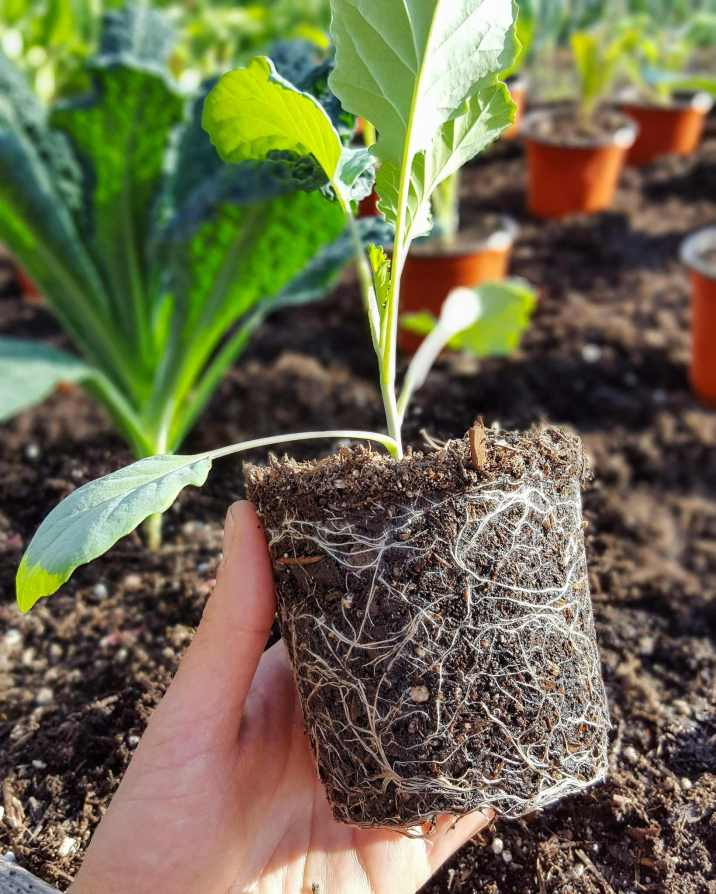 DeannaCat is holding a seedling by a root ball that is going to be transplanted into a raised garden bed. The white roots streak across the outer regions of the ball like lightning set against a black sky. Learn when to plant seeds to give your vegetables to best chance for success.